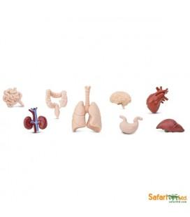 Ľudské orgány, vrecko Safari