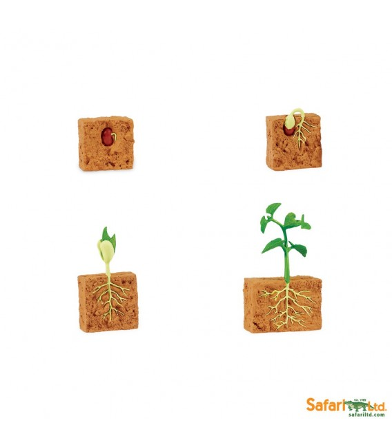Životný cyklus fazule (Safari)