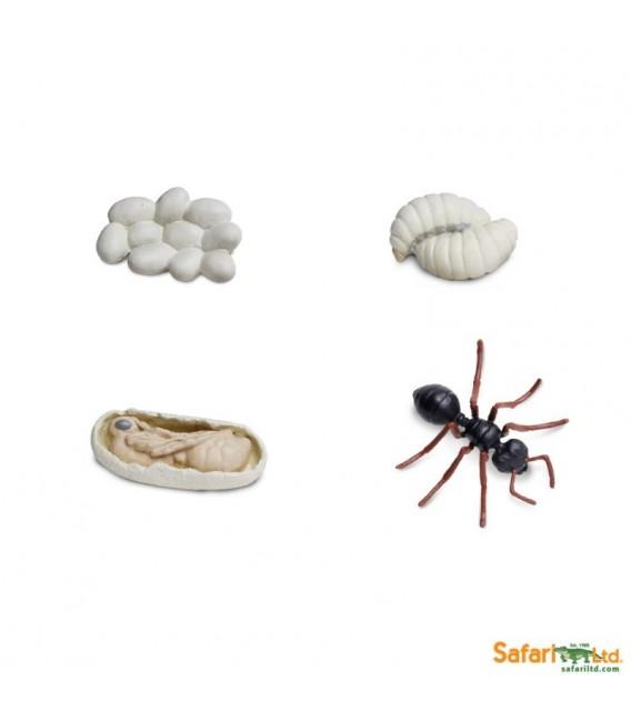 Životný cyklus mravca (Safari)