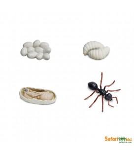 Životný cyklus Mravec (Safari)