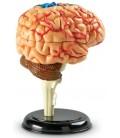 Model ľudského tela 4D - mozog