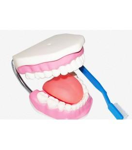Model úst s kefkou na zuby