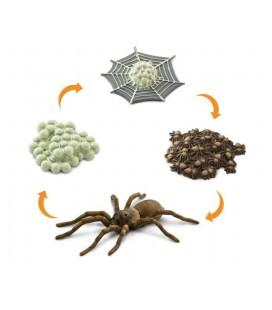 Životný cyklus - Pavúk (Safari)